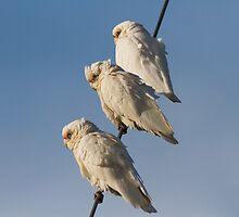Three Wise Parrots by byronbackyard