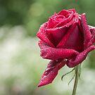 Rose Water by Jenifer  Bunnett