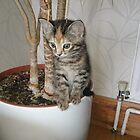 Kitten (1) by brummieboy