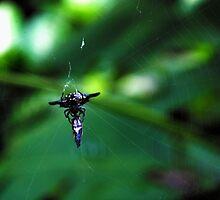 Spider - Bohol - Philippines by nikkifdb