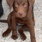 Meet Cookie 14 months old Choc Lab,,,,,,,, by lynn carter