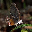 Peruvian Glass Wing - (Cithaerias aurorina) Napo River Ecuador by john  Lenagan