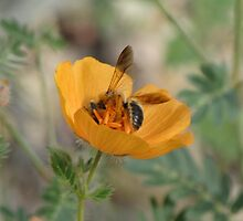 Arizona Poppy with a Bee by Ingasi