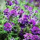 Purple Verbena by Cynthia48