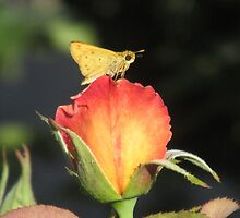 Fiery Skipper Butterfly on Rosebud by Ingasi