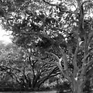 Talbot Trees by Bob Hardy