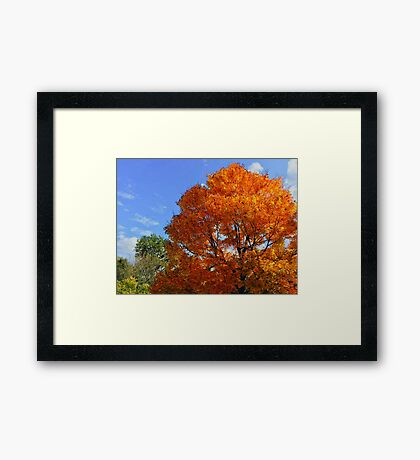 Bright Orange Tree in Autumn  Framed Print