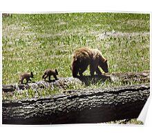 Black Bears in Sequoia National Park Poster