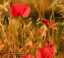 Poppies by the roadside - Puglia, Italy by Matthew Gordon