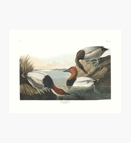 Canvasback - John James Audubon Art Print