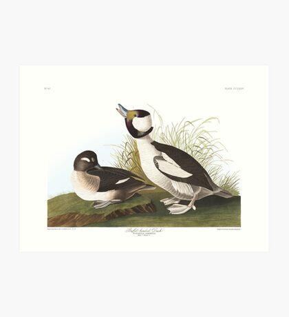 Bufflehead - John James Audubon Art Print