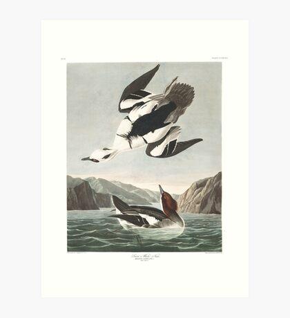 Smew - John James Audubon Art Print