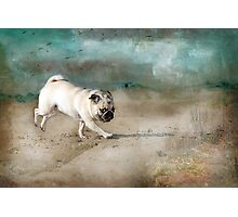 When Pugs Fly Photographic Print