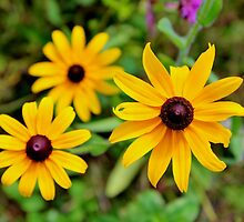 Black-eyed Susan by Kathleen Daley