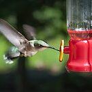 Hummingbird - Nottingham, NH by Eric Cook
