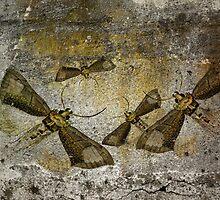 Burnished Brass Moth by garts