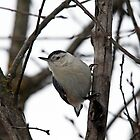 White Breasted Nuthatch Portrait by Debbie Oppermann