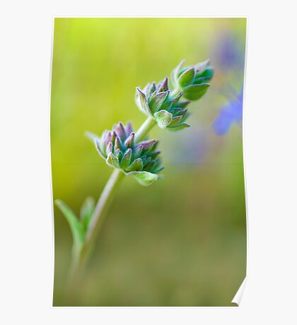 Spring Sage Poster