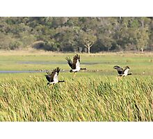 Magpie Geese Photographic Print