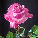 Pink Rose - Baron De Rothschiid by DPalmer
