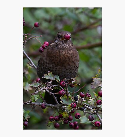 Hungry Blackbird.. Photographic Print