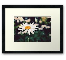 Afternoon Daisy Framed Print