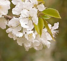 Cherry Blossoms by Rose Saint Leger