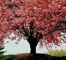Cherry Blossom Beauty  ^ by ctheworld