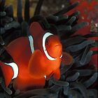 Cheeky clown fish in anenome by Fiona Ayerst