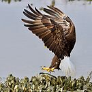 Eagle Landing by TJ Baccari Photography