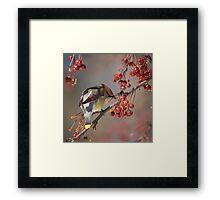 Cedar Waxwing Eating Berries 7 Framed Print