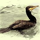 Cormorant by Country  Pursuits