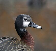 White Headed Whistling Duck by GreyFeatherPhot