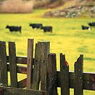Pasture, fence and cows by Gaspar Avila