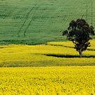 Canola Field w/Single Tree, York W.A. by Sandra Chung