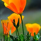 California Poppy by Eyal Nahmias