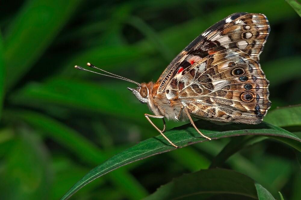 Common Buckeye  (Junonia coenia) butterfly by Eyal Nahmias