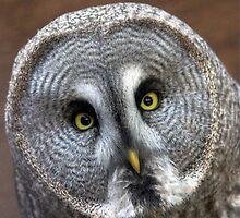 Great grey owl by larry flewers