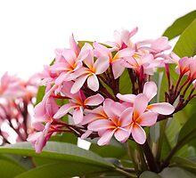 Pink frangipanis by Nic MacBean