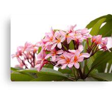 Pink frangipanis Canvas Print