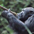 Chimpanzee ( Pan Troglodytes) by Jeff Ore