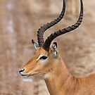 Close-up of a Male Impala (Aepyceros melampus) by Yair Karelic
