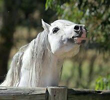 Welsh Mountain Stallion by Rivington