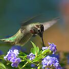 Male Anna's Hummingbird In Flight by Diana Graves Photography