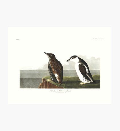 Marbled Murrelet - John James Audubon  Art Print