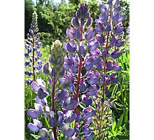 Late Afternoon Lupins Photographic Print