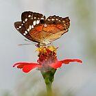 Coolie Butterfly  (Anartia amathea)   -  Napo River Ecuador by john  Lenagan