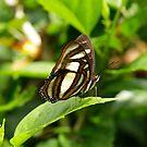 Elissa Page  (Metamorpha elissa )  - Napo - Ecuador by john  Lenagan