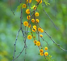 Yellow Tree Blossoms by Diana Graves Photography