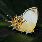 Spangled Cupid ( Helicopis cupido )  - Leticia - Colombia by john  Lenagan